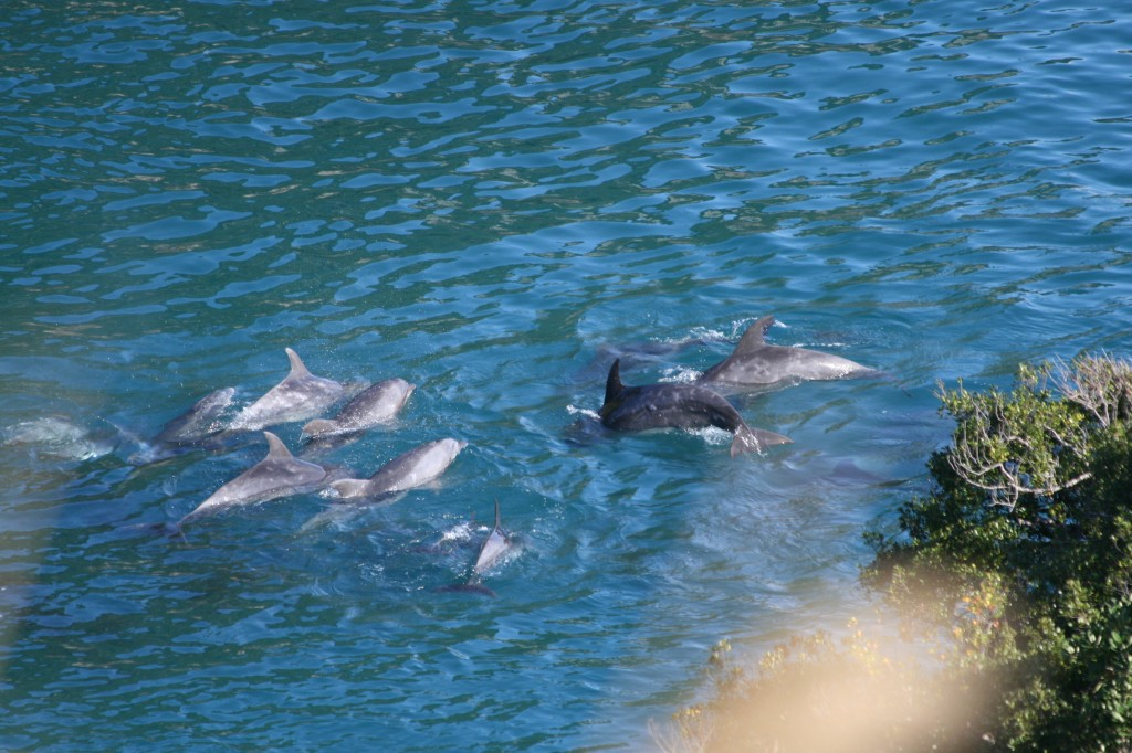 "pod of bottlenose dolphins trapped in ""the cove"""