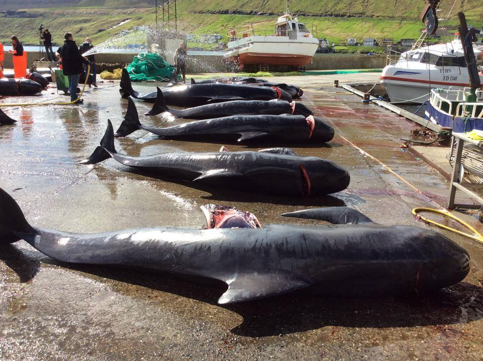 killed pilot whales